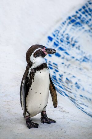 Humboldt penguin (Spheniscus humboldti) stay on bank ready to jump into water Stock fotó