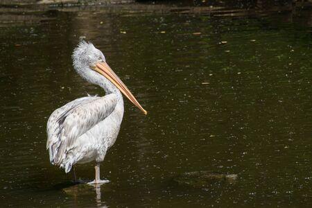 Young Dalmatian pelican (Pelecanus crispus) stay in river and hunts