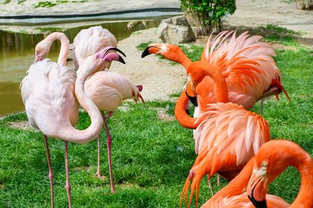 Greater Flamingo (Phoenicopterus roseus) and American flamingo  (Phoenicopterus ruber) near river ready to fight