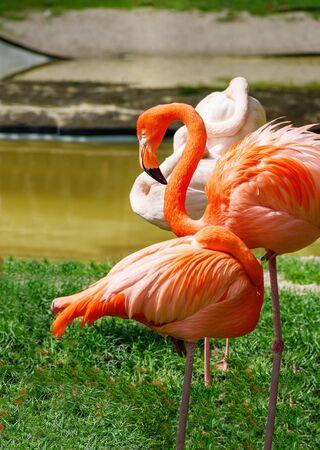 Greater Flamingo (Phoenicopterus roseus) and American flamingo  (Phoenicopterus ruber) near river