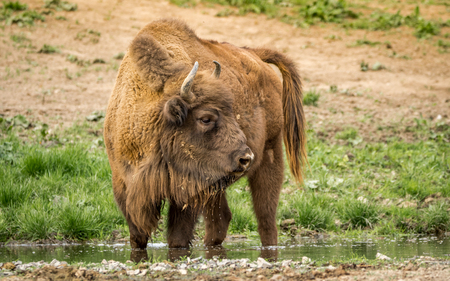The European bison, also known as the European wood bison