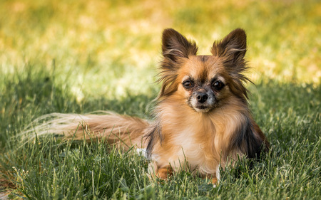 A longhaired Chihuahua in the grass
