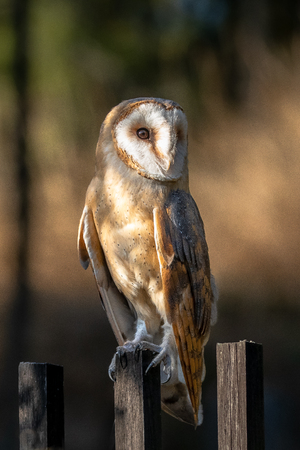 Barn owl. It is the most widely distributed species of owl and one of the most widespread of all birds.