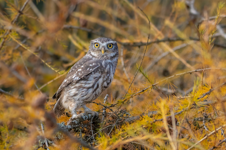 Little Owl - Athene noctua. Is a bird that inhabits much of the temperate and warmer parts of Europe, Asia east to Korea and North Africa. Standard-Bild - 119394642