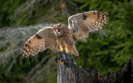 The long-eared owl - Asio otus, also known as the northern long-eared owl, is a species of owl which breeds in Europe, Asia and North America.