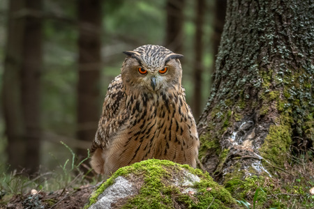 European eagle-owl or Eurasian eagle-owl, Bubo bubo.