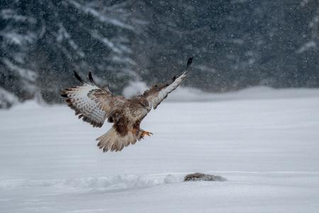 Common buzzard (Buteo buteo) Bird of prey in winter. Banque d'images