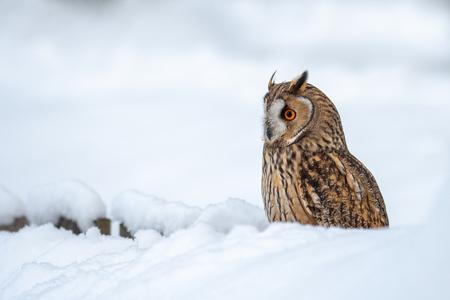 Long-eared owl in winter