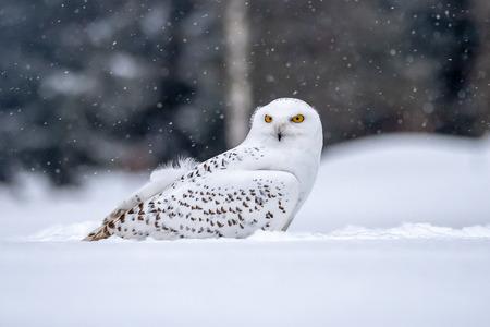Snowy owl, Bubo scandiacus in winter Reklamní fotografie