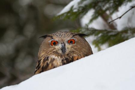 European eagle-owl in winter
