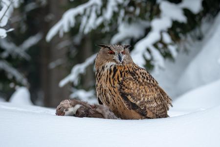 Europäischer Uhu im Winter Standard-Bild