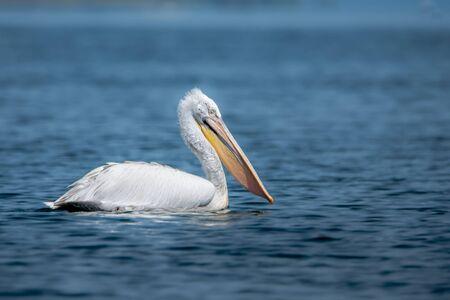 Krauskopfpelikan - Pelecanus crispus. Das massivste Mitglied der Pelikanfamilie und vielleicht der größte Süßwasservogel der Welt.