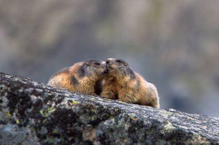 Alpine Marmot, Marmota Marmot, High Tatras, Slovakia