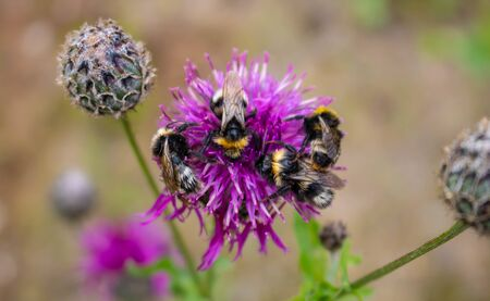 Faded close-up image of a bumblebee sitting away from purple Great Globe Thistle flower, blurred green background. Banque d'images
