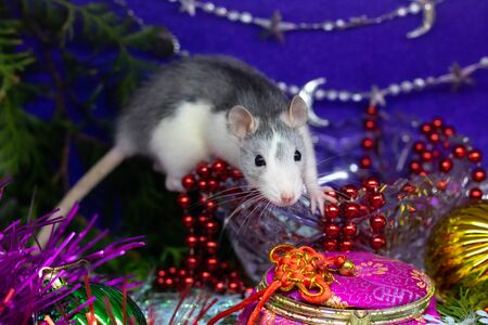 Cute gray domestic rat in a New Year's decor. Symbol of the year 2020 is a rat. Santa's sleigh.
