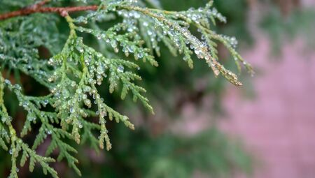drops of morning dew on a spider web on pine branches at sunrise