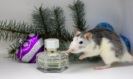 Silver rat on white background sitting a round a perfume bottle. concept. rat is the symbol of the Chinese New Year 2020.