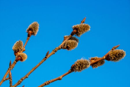 Branches with young willow inflorescences in spring morning on a background of blue sky close-up. Banque d'images