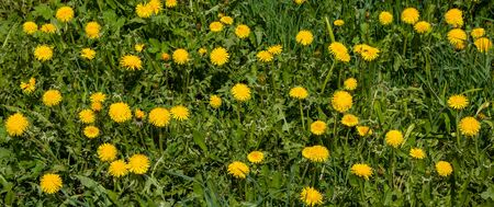 A meadow of yellow dandelions. Bright dandelion flowers on a background of green spring meadows
