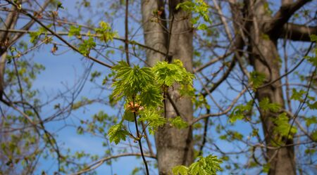 Spring. Leaves of maple in the spring against the blue sky
