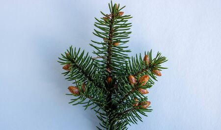 A spruce branch with small young cones isolated on a white background.The concept of the new year and Christmas.