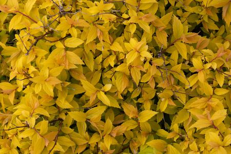 The background of yellow leaves.Bright yellow Bush Spiraea japonica Golden Princess. Spring foliage color
