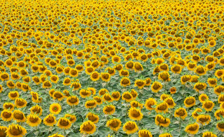 Sunflower is a natural background. Beautiful landscape with yellow sunflowers. Sunflower field, agriculture, crop concept. Sunflower seeds, vegetable oil. Sunflower Wallpaper.