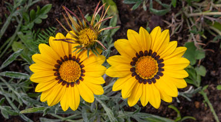 Close-up photo of two beautiful yellow garden flowers Gazania Gazania linearis in a flower bed in the Park