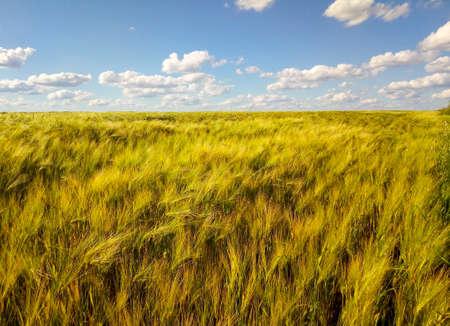 Golden wheat field under a blue sky and sunshine.