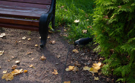 A jackdaw holds an acorn in its beak. In the Park on an autumn day, a bench, fallen leaves.