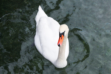 swimming swan: White swan on the water Stock Photo