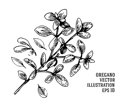 Vector hand drawn oregano illustration. Vintage oregano flower sketch. Botanical drawing
