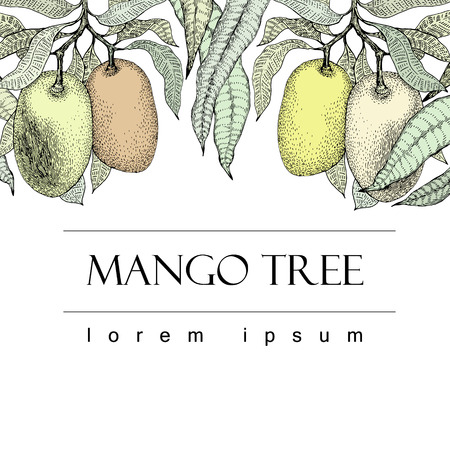 Mango tree vintage design template. Botanical mango fruit banner. Engraved mango. Retro illustration
