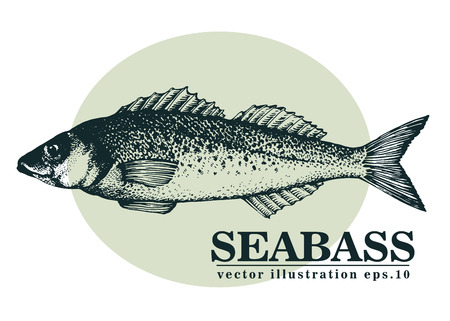 Hand drawn sketch seafood vector vintage illustration of seabass fish. Can be use for menu or packaging design. Engraved style. Vintage illustration.