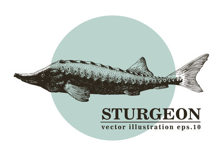Hand drawn sketch seafood vector vintage illustration of sturgeon fish. Can be use for menu or packaging design. Engraved style. Retro illustration. Stockfoto