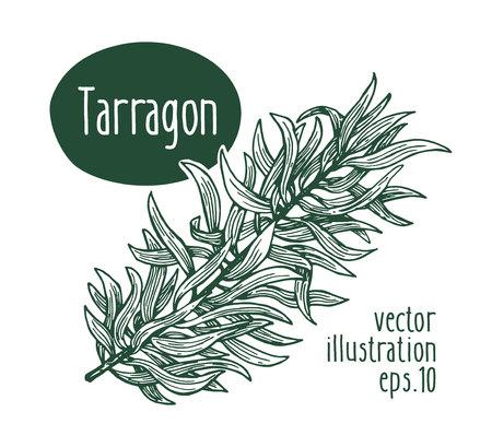 Ramo di dragoncello. Illustrazione vettoriale per menu design, packaging e ricette. Illustrazione retrò disegnata a mano Stile inciso.