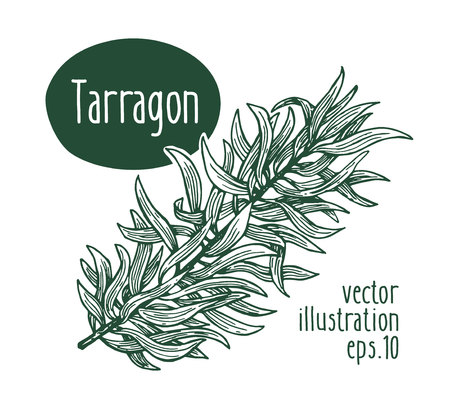 Tarragon branch. Vector illustration for design menu, packaging and recipes. Hand drawn retro illustration. Engraved style.