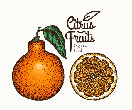 Tangelo fruit illustration. Hand drawn vector orange illustration. Engraved style fruit. Retro citrus illustration.