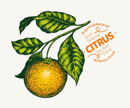 Orange branch illustration. Hand drawn vector tangerine illustration. Engraved style fruit. Retro citrus illustration.