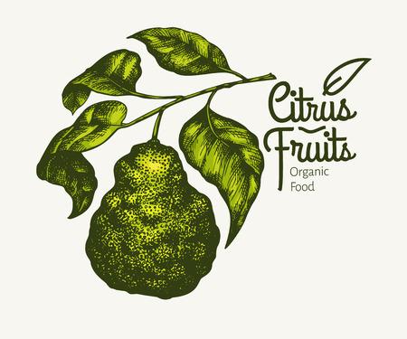 Bergamot branch illustration. Hand drawn vector fruit illustration. Engraved style. Retro fortunella citrus illustration. Illustration