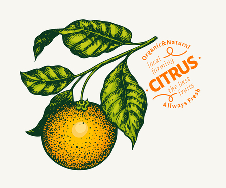 Orange branch illustration. Hand drawn vector tangerine illustration. Engraved style fruit. Retro citrus illustration.