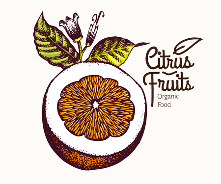 Cur orange illustration. Hand drawn vector fruit illustration. Engraved style. Retro citrus illustration.