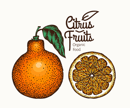 Tangelo fruit illustration. Hand drawn vector orange illustration. Engraved style fruit. Retro citrus illustration.