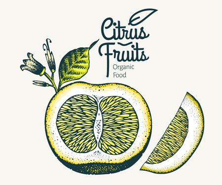 Orange illustration. Hand drawn vector fruit illustration. Engraved style. Retro citrus illustration. Cut grapefruit.