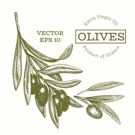Olive branch illustration. Hand drawn vector food illustration. Engraved style mediterranean plant. Vintage botanical picture.