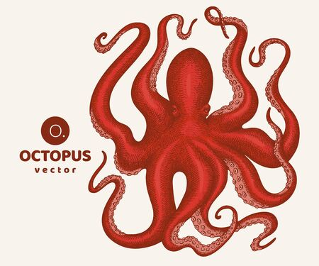 Octopus colored illustration. Hand drawn vector seafood illustration. Engraved style squid. Vintage zoology image