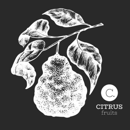 Bergamot branch illustration. Hand drawn vector fruit illustration on chalk board. Engraved style. Retro bergamot citrus illustration.