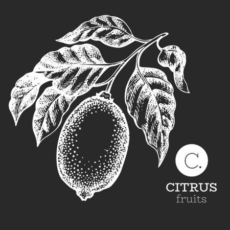 Lemon branch illustration. Hand drawn vector fruit illustration on chalk board. Engraved style. Retro citrus illustration. Ilustração