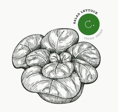 Hand drawn sketch style lettuce salad. Organic fresh food vector illustration isolated on white background. Vintage vegetable romaine lettuce illustration. Engraved style botanical picture.