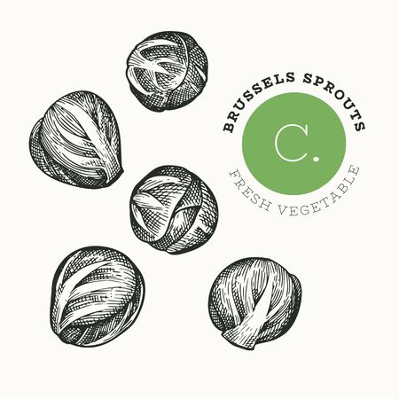 Hand drawn sketch style brussel sprout. Organic fresh food vector illustration isolated on white background. Vintage vegetable cabbage illustration. Engraved style botanical picture.